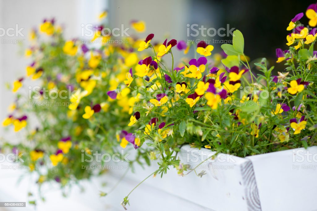 Pansies in white flower box decorating the window of a house. Shallow...