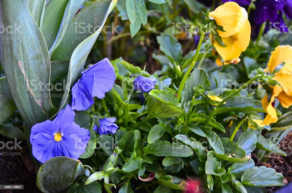 Pansies in Mountain garden stock photo