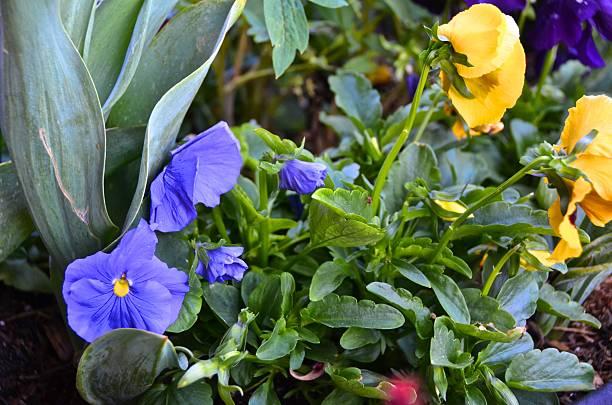 Pansies in Mountain garden stock photo