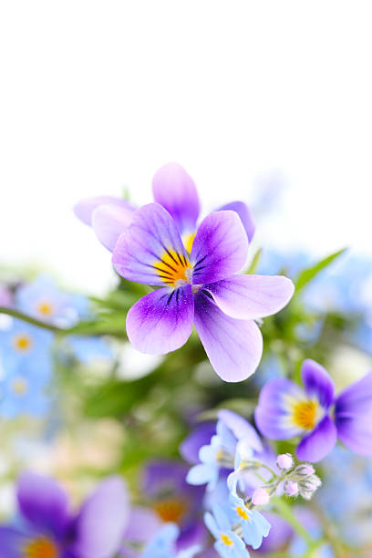pansies on white isolated background.border. Floral border. stock photo