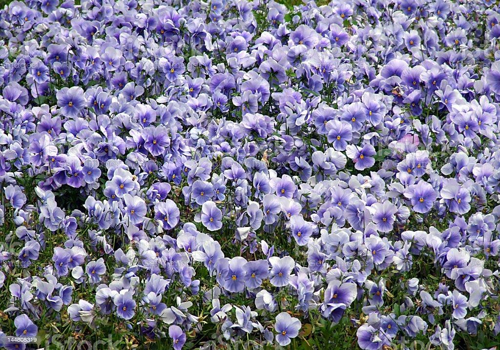 pansies (Viola tricolor) royalty-free stock photo