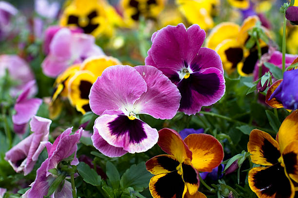 Pansies  pansy stock pictures, royalty-free photos & images