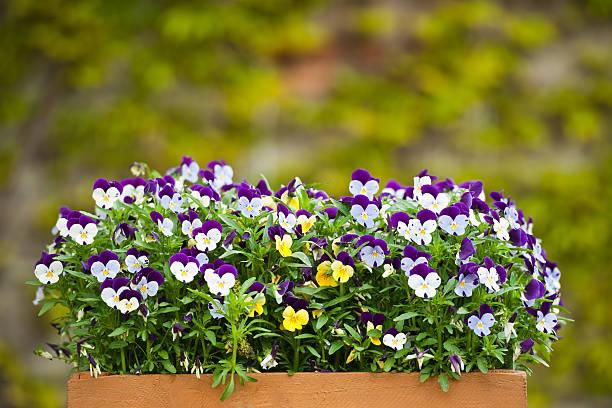 Formada por pensamientos (Viola tricolor - foto de stock