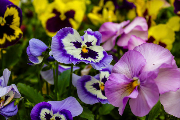Pansies. Beautiful Pansies. pansy stock pictures, royalty-free photos & images