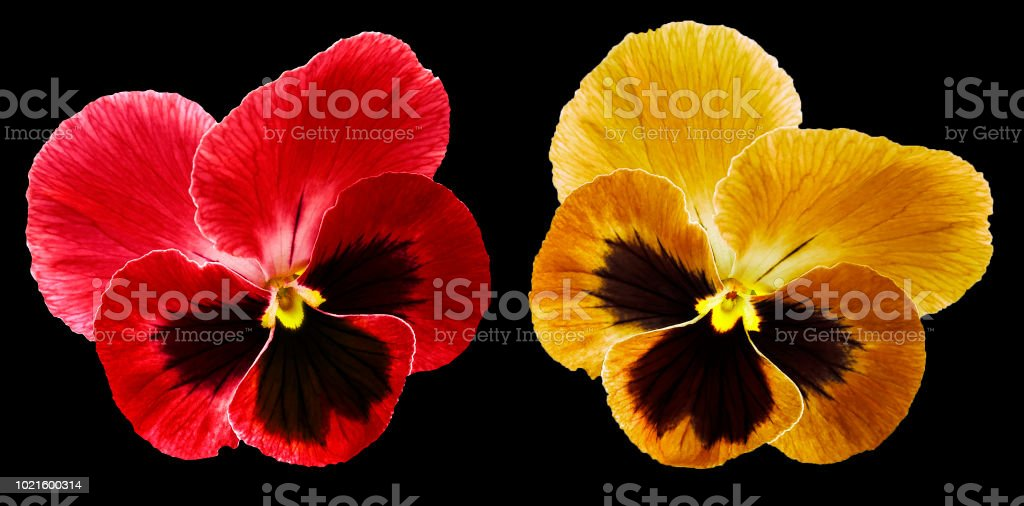 Pansies red and orange flower on the black isolated background with...