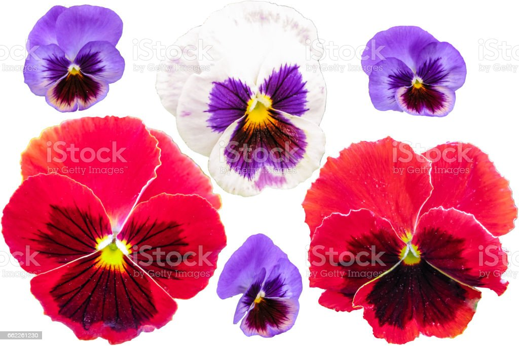 Pansies set isolated on white background. Viola tricolor red blue yellow macro closeup royalty-free stock photo