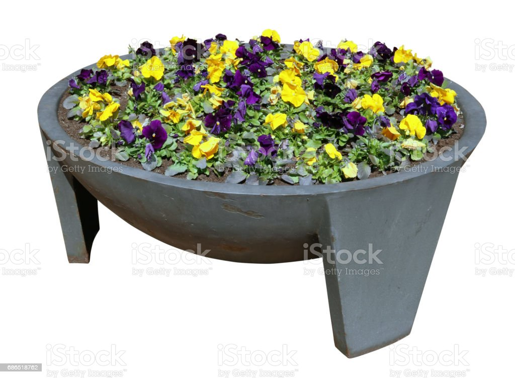 Pansies spring gentle yellow and blue flowers grow in an old metal  modern steel street flowerpot. Isolated with patch royalty free stockfoto