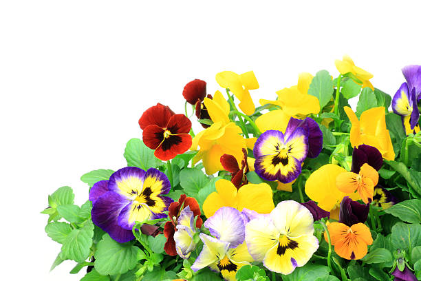 pansy and viola I took many pansies and violas in a white background. pansy stock pictures, royalty-free photos & images