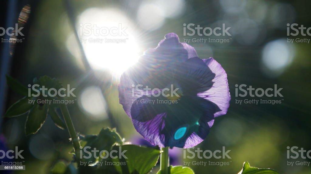 Pansy (Viola) Back Lit by Sun Rays stock photo