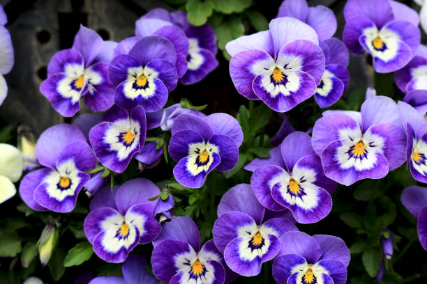 Pansy blooming at the roadside in winter Winter flowers pansy stock pictures, royalty-free photos & images
