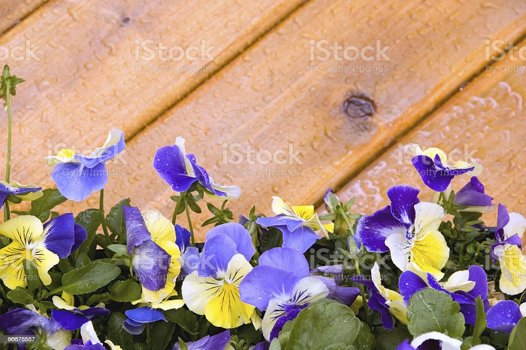 Pansy border on cedar deck stock photo