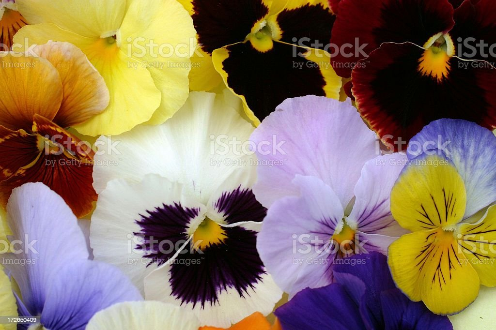 Pansy faces royalty-free stock photo