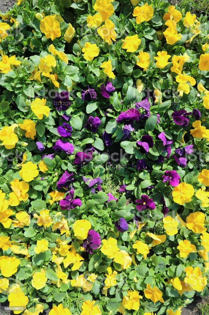 Pansy field yellow and violet flowers on a sunny day. royalty-free stock photo