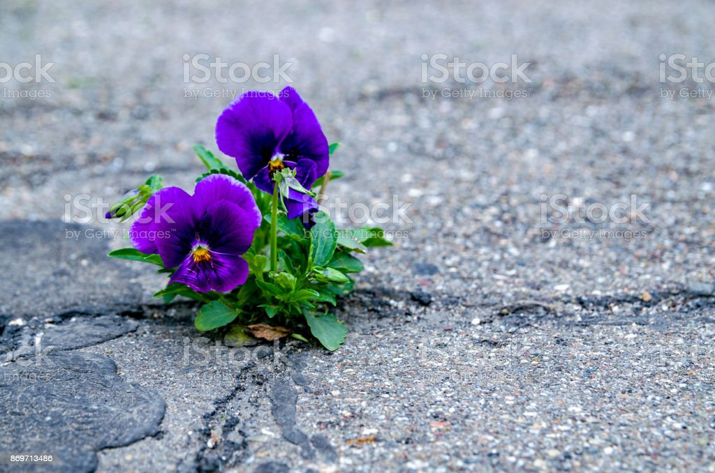 Pansy flower blooming in a small crack of a road. stock photo