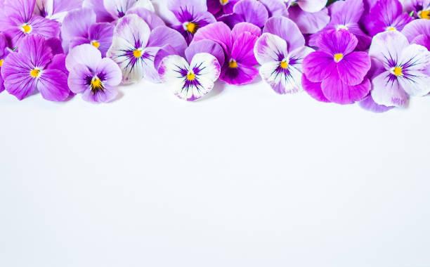 Stiefmütterchen Blumenstrauß. Lila rosa Blumen auf weißem Hintergrund. Ansicht von oben, Flachliegen, Kopierraum – Foto