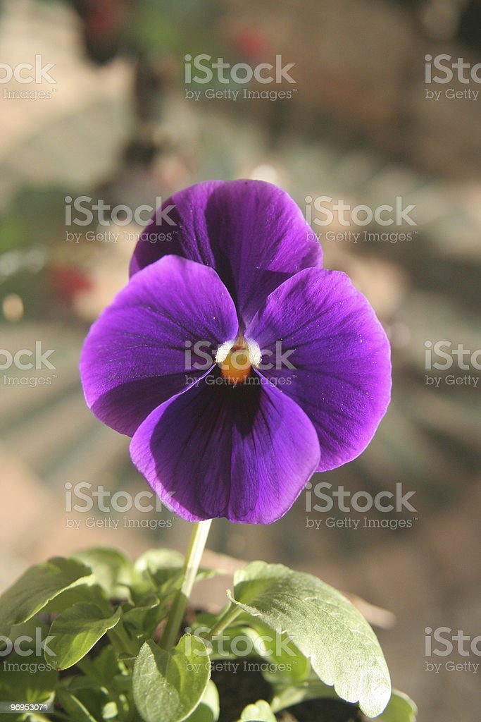 Pansy flower close up royalty-free stock photo