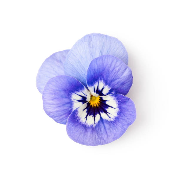 Pansy flower Pansy flower isolated on white background clipping path included. Spring garden viola tricolor. Top view, flat lay pansy stock pictures, royalty-free photos & images