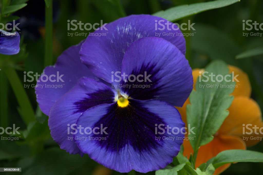Pansy flower - Royalty-free Close-up Stock Photo