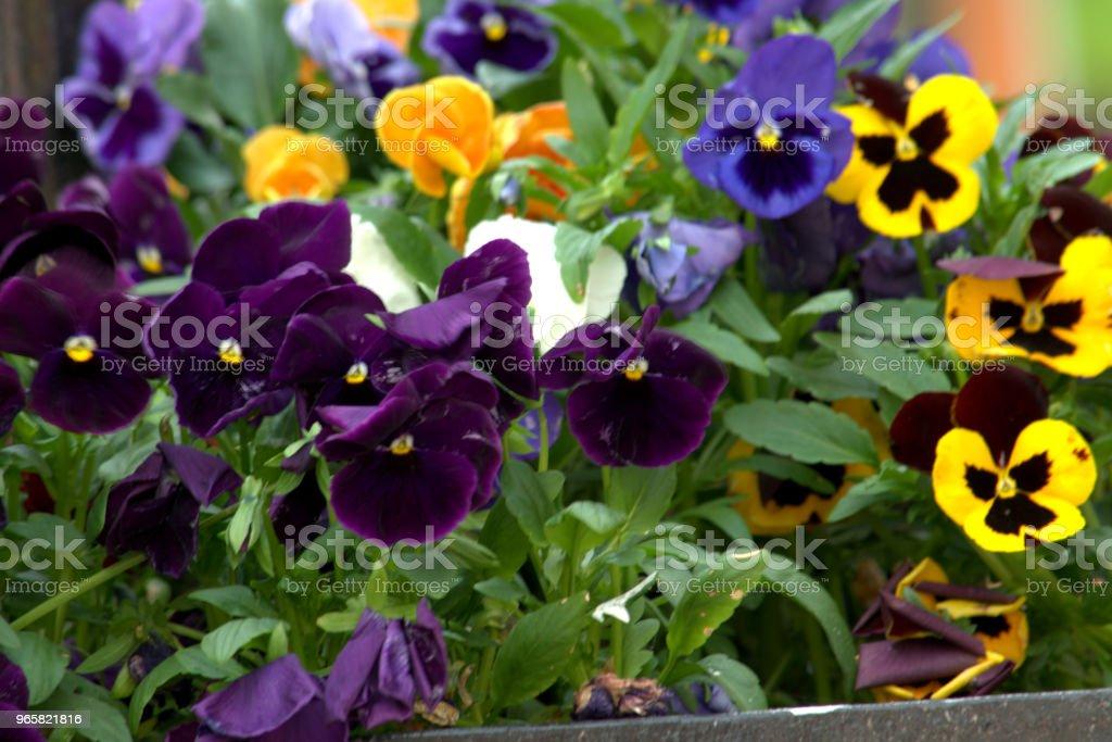 Viooltje bloem - Royalty-free Blad Stockfoto