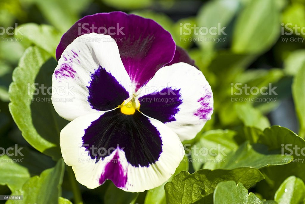 Pansy Flower royalty-free stock photo