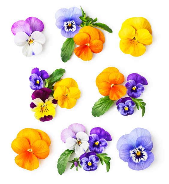 Pansy flowers and viola tricolor set Pansy flowers or spring garden viola tricolor collection isolated on white background. Flower arrangement and floral design. Top view, flat lay pansy stock pictures, royalty-free photos & images
