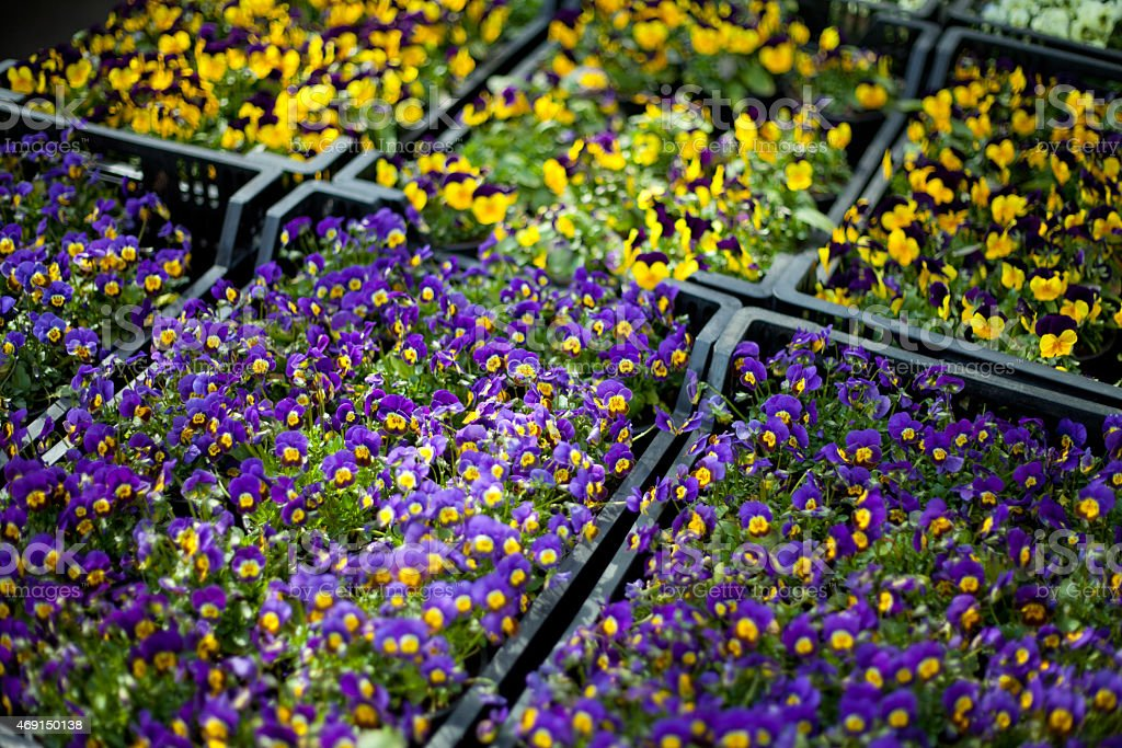 Pansy flowers in big plastic box stock photo