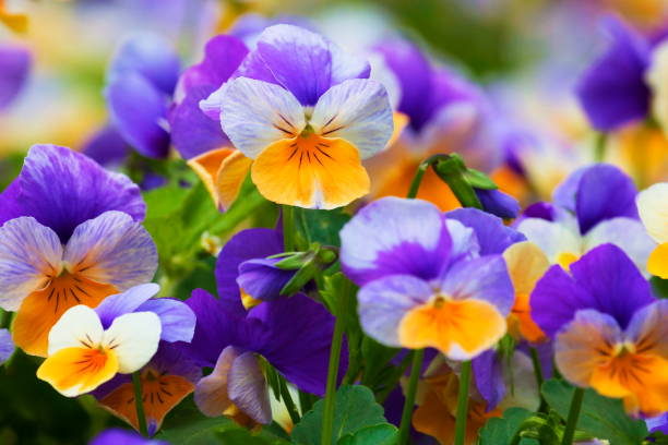 Pansy flowers natural pattern at french valensole countryside in Provence, France Pansy flowers natural pattern at french valensole countryside– relax landscape in Provence, France pansy stock pictures, royalty-free photos & images