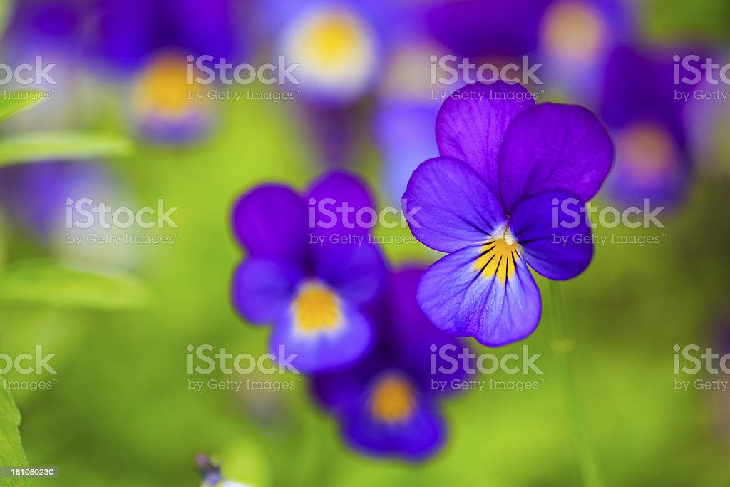 pansy flowers royalty-free stock photo