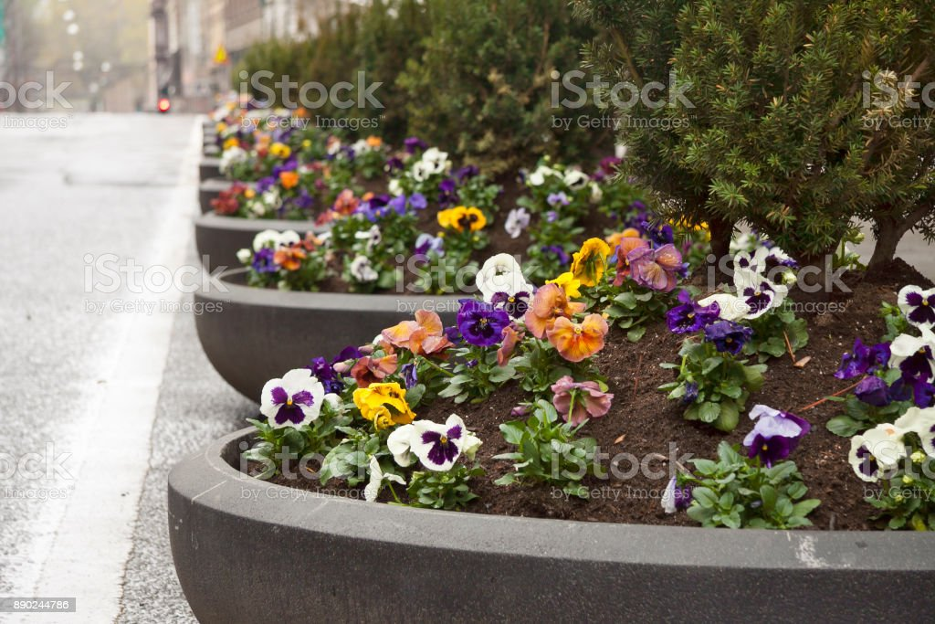 Pansy flowers planted in tubs on Akersgata in Oslo, Norway stock photo
