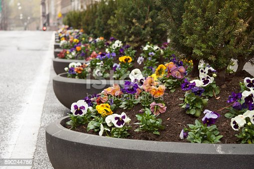 Pansy Flowers Planted In Tubs On Akersgata In Oslo Norway Stock ...