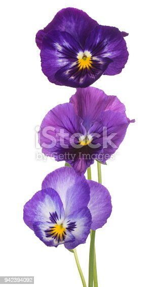 Studio Shot of Blue Colored Pansy Flowers Isolated on White Background. Large Depth of Field (DOF). Macro.
