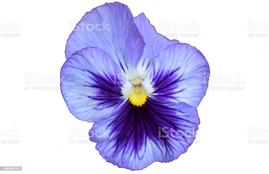 Pansy on White Background stock photo