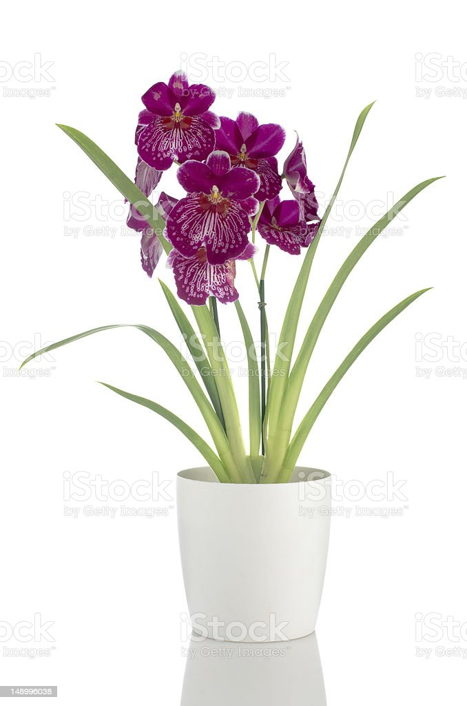 Pansy Orchid - Miltonia Lawless Falls stock photo
