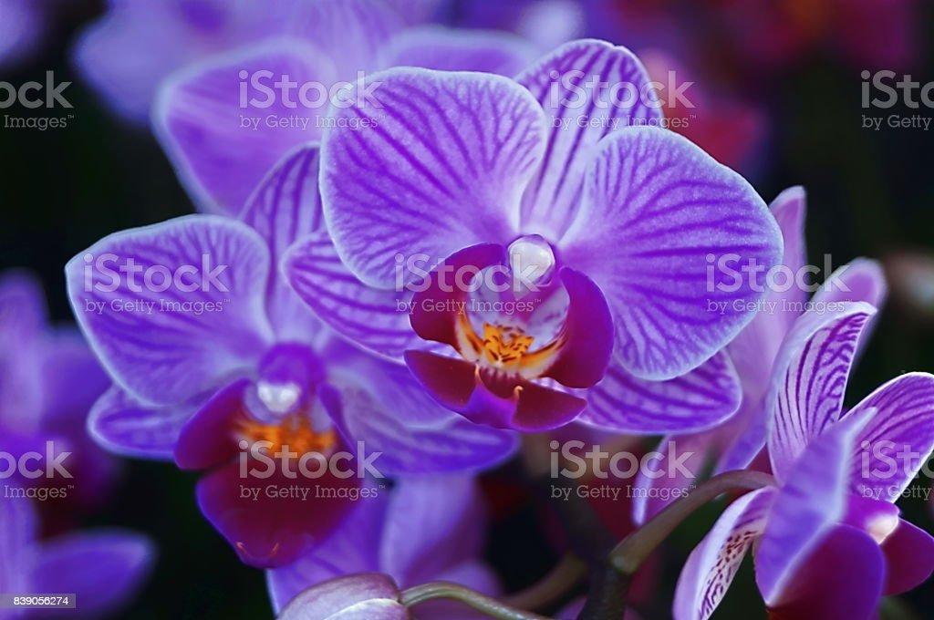 Pansy Orchid - Miltoniopsis stock photo