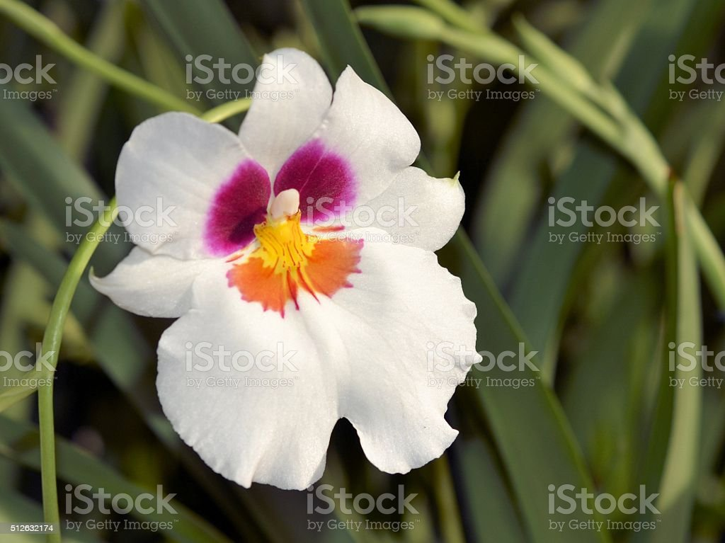 Pansy Orchid stock photo