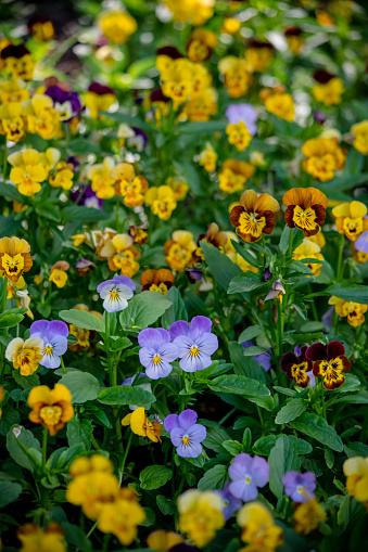 A field of pansies