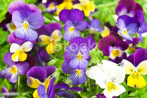 Studio Shot of Multicolored Pansy Flowers Background. Large Depth of Field (DOF). Macro. Symbol of Fun and Reminiscence.