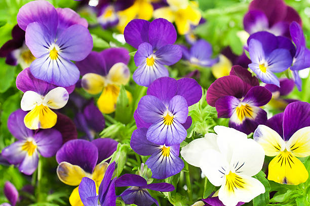 pansy Studio Shot of Multicolored Pansy Flowers Background. Large Depth of Field (DOF). Macro. Symbol of Fun and Reminiscence. pansy stock pictures, royalty-free photos & images