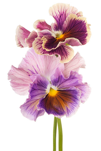 pansy Studio Shot of Multicolored Pansy Flowers Isolated on White Background. Large Depth of Field (DOF). Macro. pansy stock pictures, royalty-free photos & images