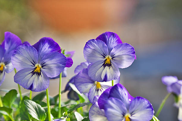 pansy pansy pansy stock pictures, royalty-free photos & images