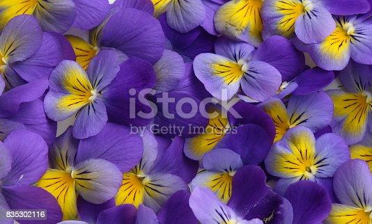 Flowering blue and white pansies Viola tricolor