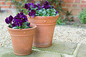 Pansy flowers, purple pansies, winter to spring flowering Pansy Ruffles plants in garden pots on a patio, UK