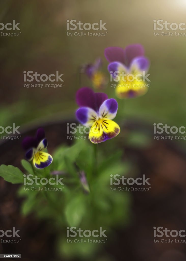 pansy violet flowers on the summer garden flower bed stock photo