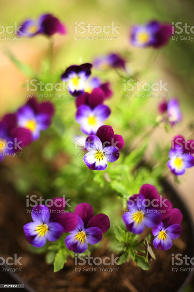 pansy violet flowers on the summer garden stock photo