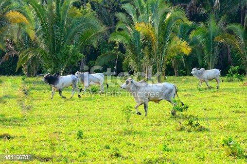 istock Pantanal Brahma Bulls 454166731