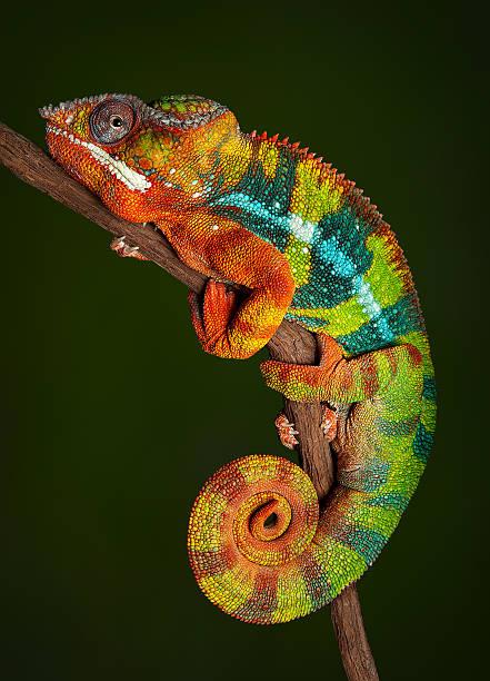 panther kameleon w spoczynku - kameleon zdjęcia i obrazy z banku zdjęć