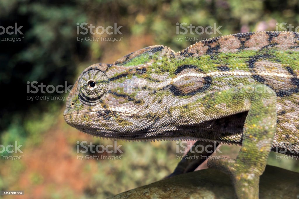 Panther chameleon, endemic reptile of Madagascar royalty-free stock photo