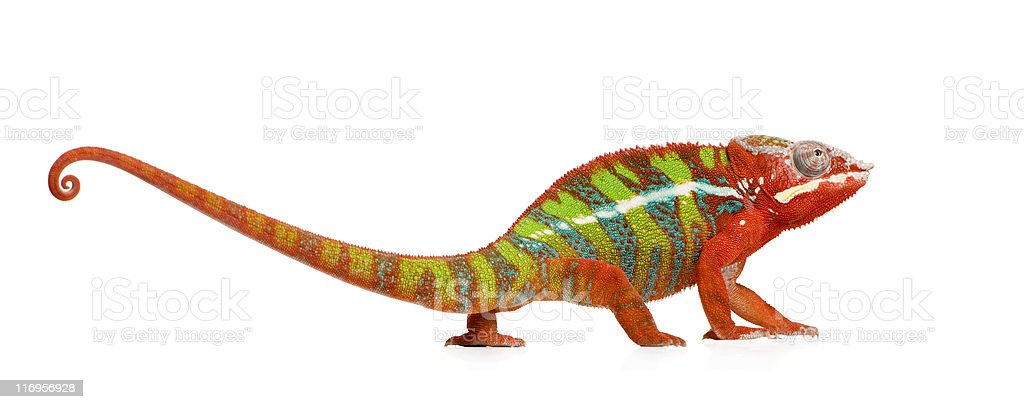 Panther Chameleon Furcifer Pardalis - Ambilobe stock photo