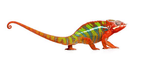 panther chameleon furcifer pardalis-ambilobe - kameleon zdjęcia i obrazy z banku zdjęć
