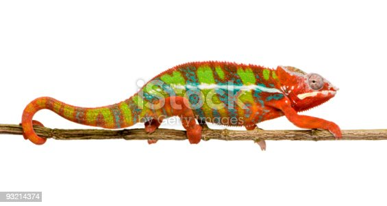 Young Panther Chameleon Furcifer Pardalis in front of a white background.